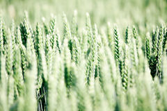 Young wheat field Royalty Free Stock Images