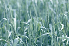 Young wheat field background. Vivid Royalty Free Stock Images