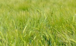 Young wheat field closeup Royalty Free Stock Images