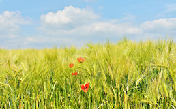 Young wheat field closeup with red poppies Royalty Free Stock Photo