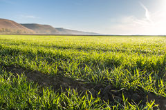 Young wheat field Stock Images