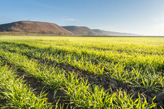 Young wheat field Stock Photos