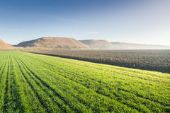 Young wheat field Stock Image