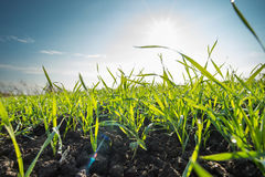 Young wheat field Royalty Free Stock Photo