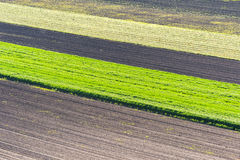 Young wheat field Royalty Free Stock Image