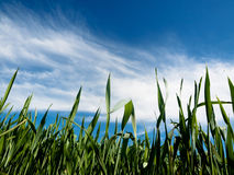 Young wheat field at spring Royalty Free Stock Photos