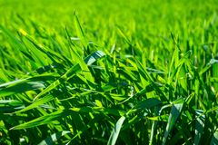Young wheat field in spring, seedlings growing in a soil. Green. Wheat field, prouts of wheat. Close up. Selective focus. Agronomic background stock photo