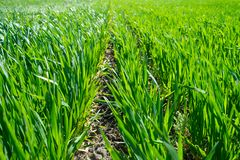 Young wheat field in spring, seedlings growing in a soil. Green. Wheat field, prouts of wheat. Close up. Selective focus. Agronomic background stock photography