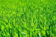 Young wheat field in spring, seedlings growing in a soil. Green. Wheat field, prouts of wheat. Close up. Selective focus. Agronomic background royalty free stock photo
