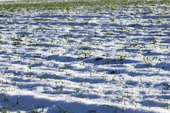 Young wheat germs. Snow-covered green wheat grass covered with snow in the winter season Royalty Free Stock Photos
