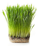 Young wheat grass Royalty Free Stock Image