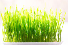 Young wheat grass sprouts on the sun Stock Image