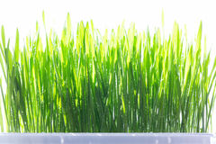 Young wheat grass sprouts on the sun Royalty Free Stock Photo