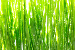 Young wheat grass sprouts on the sun Royalty Free Stock Photography