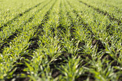 Young Wheat Growing in the Field Neat Rows. Young Green Wheat Growing in the Field Neat Rows Stock Photo