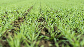 Young Wheat Growing in the Field Neat Rows. Young Green Wheat Growing in the Field Neat Rows Stock Images