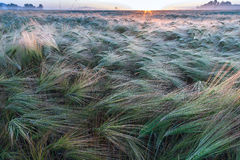 Young wheat growing in green farm field Stock Images