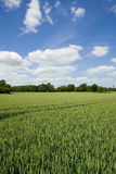 Young wheat growing in green farm field under blue sky Royalty Free Stock Photo