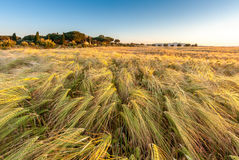 Young wheat growing in green farm field under blue Royalty Free Stock Photography