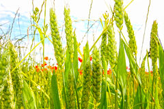 Young Wheat Growing In The Fields Stock Photo