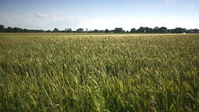 Young wheat moves from the wind. Medium shot. stock video