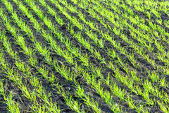 Young wheat plants Stock Images