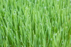 Young wheat plants Stock Photography