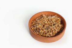 Young wheat seedlings in a clay container on a white background.  Stock Photos