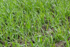 Young wheat seedlings growing in a field. Close up royalty free stock photos