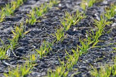 Young wheat seedlings growing in a field, Close up on sprouting wheat royalty free stock photo
