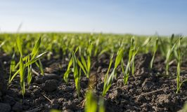 Young wheat seedlings growing in a field. Young green wheat growing in soil. Close up on sprouting rye agricultural on a royalty free stock image