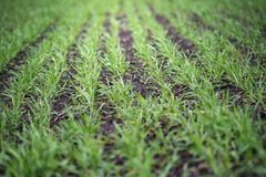 Young wheat seedlings growing in a soil. Agriculture and agronomy theme. Organic food produce on field. Natural background. The Young wheat seedlings growing in stock images