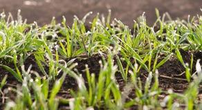 Young wheat seedlings growing Stock Image