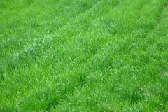 Young wheat seedlings. On a cloudy spring day royalty free stock photography
