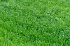 Young wheat seedlings. On a cloudy spring day stock photography