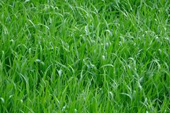 Young wheat seedlings. On a cloudy spring day royalty free stock photo