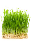 Young wheat sprouts Stock Image