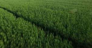 Young wheat sprouts stock video
