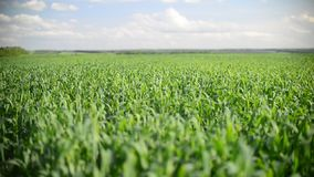 Young wheat swaying in the wind stock video