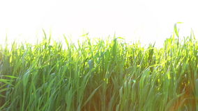 Young Wheat and Very Bright Sun stock footage