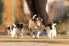 Free Young Whelp 6 Weeks Old . Beautiful Jack Russell Terrier Mom Dog With Puppy. Bitch Educates Pups Royalty Free Stock Image - 172805826