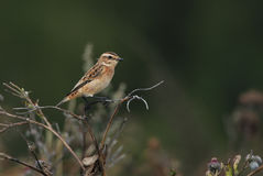 Young Whinchat. Juvenile Whinchat on a meadow in autumn, Estonia Stock Images