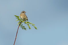 Young whinchat Stock Photos