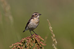 Young whinchat which sits on a branch on a summer. Day royalty free stock photos
