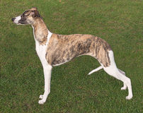 Young Whippet standing proudly to attention Stock Images