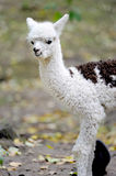 Young white alpaca Royalty Free Stock Photography