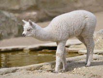 Young white alpaca Royalty Free Stock Image