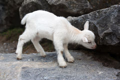 Young white baby goat Royalty Free Stock Images