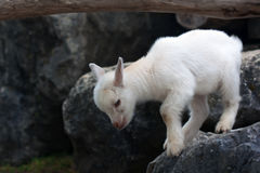 Young white baby goat Royalty Free Stock Photo