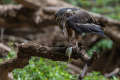 Young white bellied sea eagle feeding Royalty Free Stock Photos